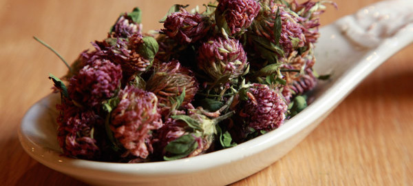 red clover herbal benefits